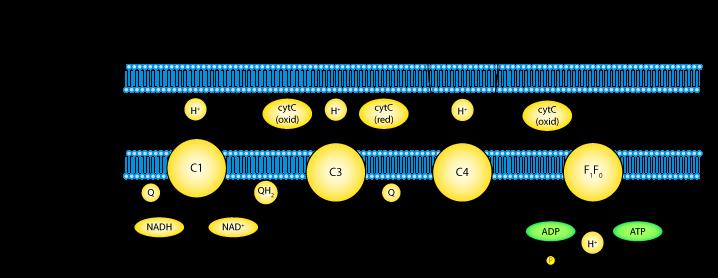 Mysqclascontcam Electron Transport Chain