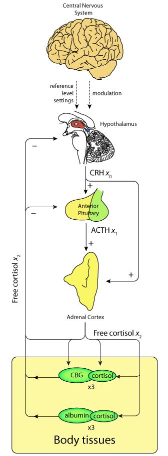 corticosteroid binding globulin elisa