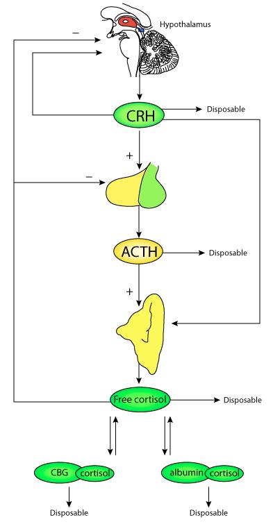 corticosteroid-binding globulin glycosylation