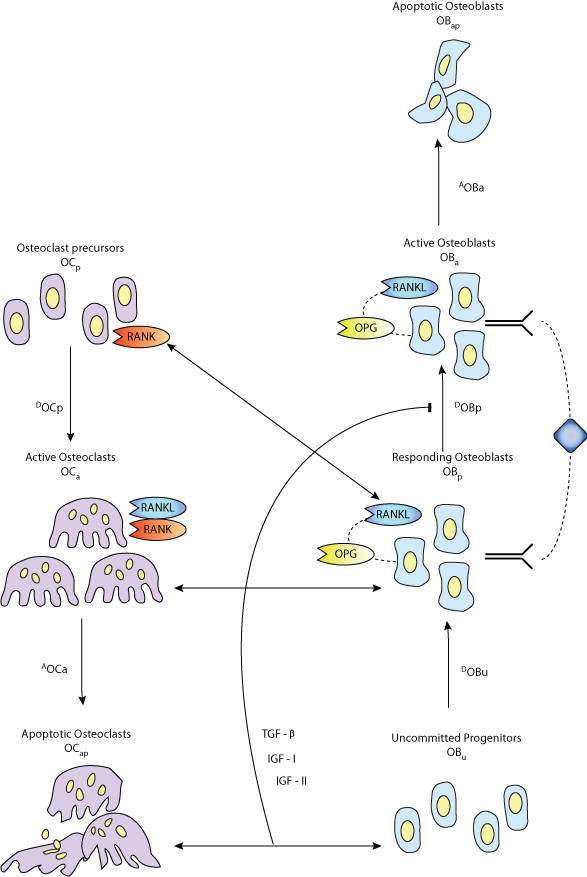 B Cell Differentiation Pathway