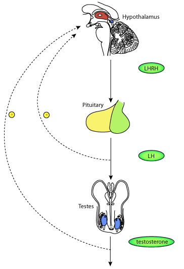 A model for the control of testosterone secretion
