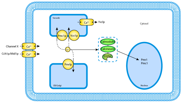 mathematical modeling of calcium homeostasis in yeast cells rh models cellml org