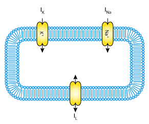 A quantitative description of membrane current and its application a schematic cell diagram describing the current flows across the cell membrane that are captured in the hodgkin huxley model ccuart Choice Image