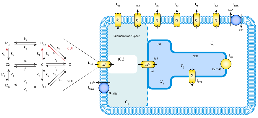 A rabbit ventricular action potential model replicating cardiac schematic diagram of the mahajan et al model featuring whole cell model showing basic elements of ca cycling machinery and membrane ion currents ccuart Gallery