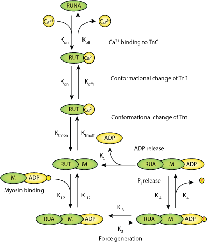 cellular mechanism of action of steroid hormones