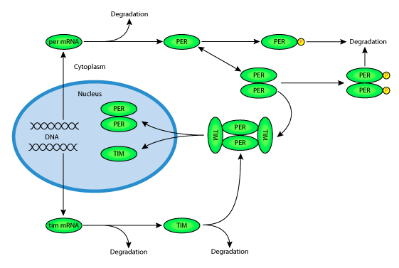 a simple model of circadian rhythms based on dimerization